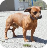 Dachshund/Chihuahua Mix Dog for adoption in Windham, New Hampshire - Rocky