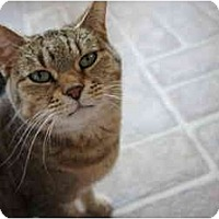 Adopt A Pet :: Mrs. Whiskers - Xenia, OH