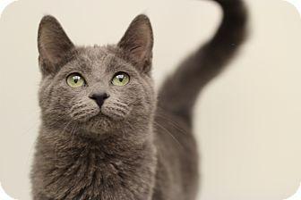 Russian Blue Cat for adoption in Marietta, Georgia - Susie