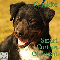 Rottweiler/Cattle Dog Mix Dog for adoption in Washburn, Missouri - Cronkite