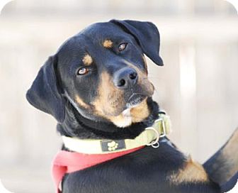 Rottweiler Mix Dog for adoption in Evans, Colorado - Jager
