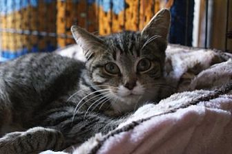 Domestic Shorthair Kitten for adoption in New City, New York - Hickory