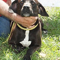 Labrador Retriever Mix Dog for adoption in Grayson, Louisiana - Andy