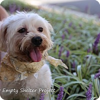 Adopt A Pet :: Livvy (formerly Zivvy) - Manassas, VA