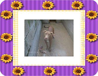 Staffordshire Bull Terrier Mix Dog for adoption in KELLYVILLE, Oklahoma - SCARLETT