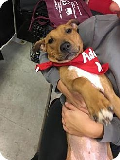 Pit Bull Terrier Mix Puppy for adoption in Cleveland, Ohio - Tula
