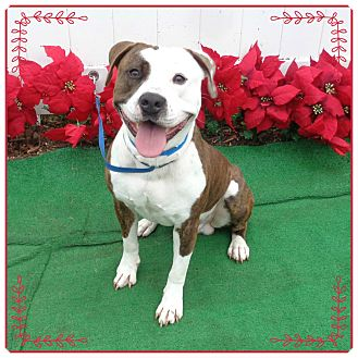 Pit Bull Terrier/American Staffordshire Terrier Mix Dog for adoption in Marietta, Georgia - BRONSON