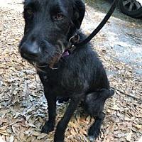 Adopt A Pet :: Herschel - Gainesville, FL
