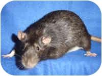 Rat for adoption in Winner, South Dakota - Shadow