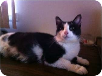 Domestic Shorthair Cat for adoption in Montgomery, Illinois - Tuxie