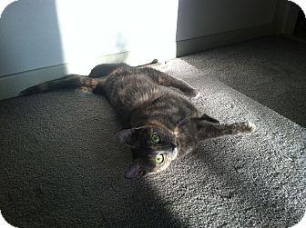 Calico Cat for adoption in St. Louis, Missouri - Willa