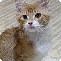 Adopt A Pet :: Coonster - Bedford, MA