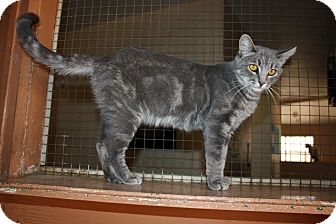 Domestic Shorthair Cat for adoption in Jurupa Valley, California - Bentleigh