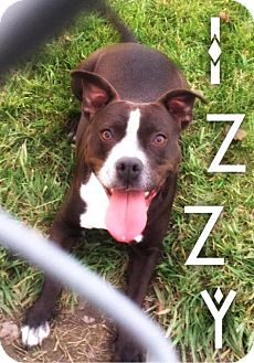 Boston Terrier/American Staffordshire Terrier Mix Dog for adoption in Hartford City, Indiana - Izzy (Princess Isadora-bull)