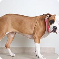American Pit Bull Terrier/Boxer Mix Dog for adoption in Eden Prairie, Minnesota - Honeydew D160121: PENDING ADOPTION
