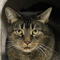 Adopt A Pet :: Cleo - North Branford, CT