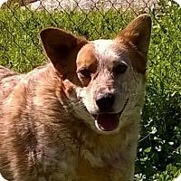 Adopt A Pet :: Cowboy - Campbell, CA