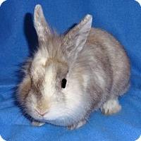 Adopt A Pet :: Snuggles - Woburn, MA