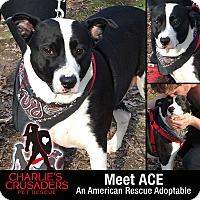 Adopt A Pet :: Ace - Spring City, PA