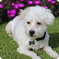 Adopt A Pet :: Maxwell - Encino, CA