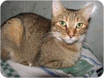 Domestic Shorthair Cat for adoption in Norwich, New York - Josie