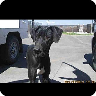 Great Dane Puppy for adoption in Phoenix, Arizona - Lucy Lu