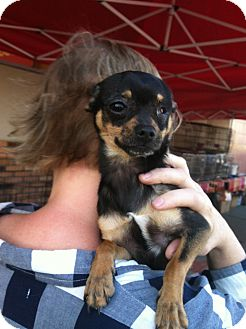 Chihuahua/Miniature Pinscher Mix Puppy for adoption in North Hollywood, California - Winkie