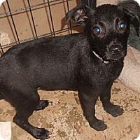 Adopt A Pet :: Terrier Mix puppy - Aloha, OR