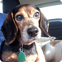 Adopt A Pet :: KATE - Birmingham, MI