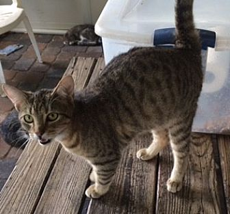 Domestic Shorthair Cat for adoption in Thibodaux, Louisiana - Peanut