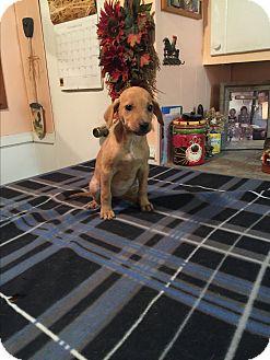 Labrador Retriever/Boxer Mix Puppy for adoption in Glastonbury, Connecticut - Gabby