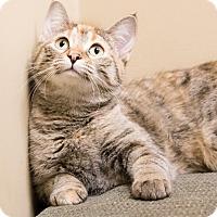 Adopt A Pet :: Siri - Chicago, IL