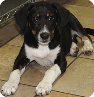 Hound (Unknown Type) Mix Puppy for adoption in Savannah, Missouri - Freya