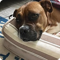 Boxer Dog for adoption in Wilmington, North Carolina - Rocco