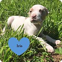 Adopt A Pet :: Iris - Livermore, CA