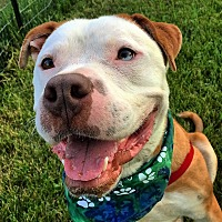 Adopt A Pet :: Beau - Bruce Township, MI