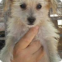 Adopt A Pet :: Kaboom - Las Vegas, NV