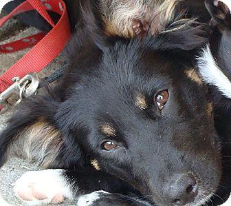 German Shepherd Dog Mix Puppy for adoption in New Boston, New Hampshire - Duke