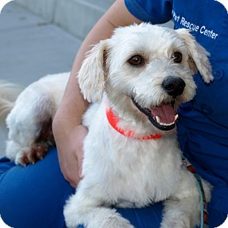 Poodle (Miniature)/Terrier (Unknown Type, Small) Mix Dog for adoption in Mission Viejo, California - Doyle
