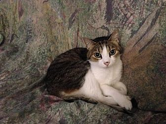 American Shorthair Cat for adoption in San Jose, California - Cloud