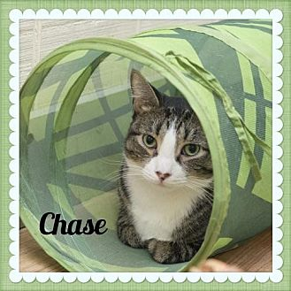 American Shorthair Cat for adoption in Island Heights, New Jersey - Chase