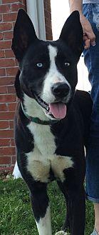 Husky/Border Collie Mix Dog for adoption in Cat Spring, Texas - Zeva