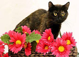 Domestic Shorthair Cat for adoption in Owenboro, Kentucky - ATESSA!