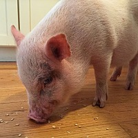 Pig (Potbellied) for adoption in House Springs, Missouri - Jackson the piggie