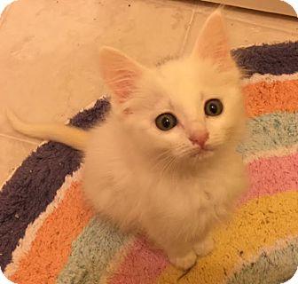 Domestic Mediumhair Kitten for adoption in Smyrna, Georgia - Iago