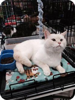 Siamese Cat for adoption in Harrisburg, North Carolina - Asia