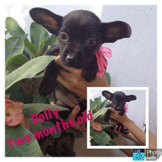 Rat Terrier/Dachshund Mix Puppy for adoption in LAKEWOOD, California - Dolly
