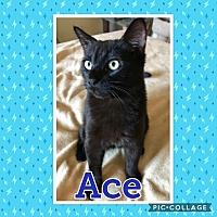 Adopt A Pet :: Ace - Arlington/Ft Worth, TX