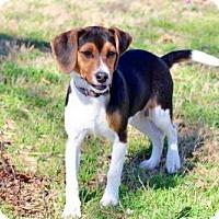 Beagle Puppy for adoption in Washington, D.C. - PUPPY HAMLET
