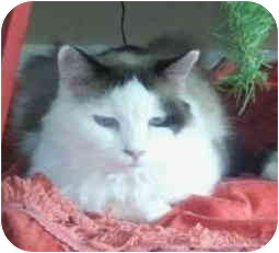 Ragdoll Cat for adoption in Keizer, Oregon - Tippy in Bend, OR